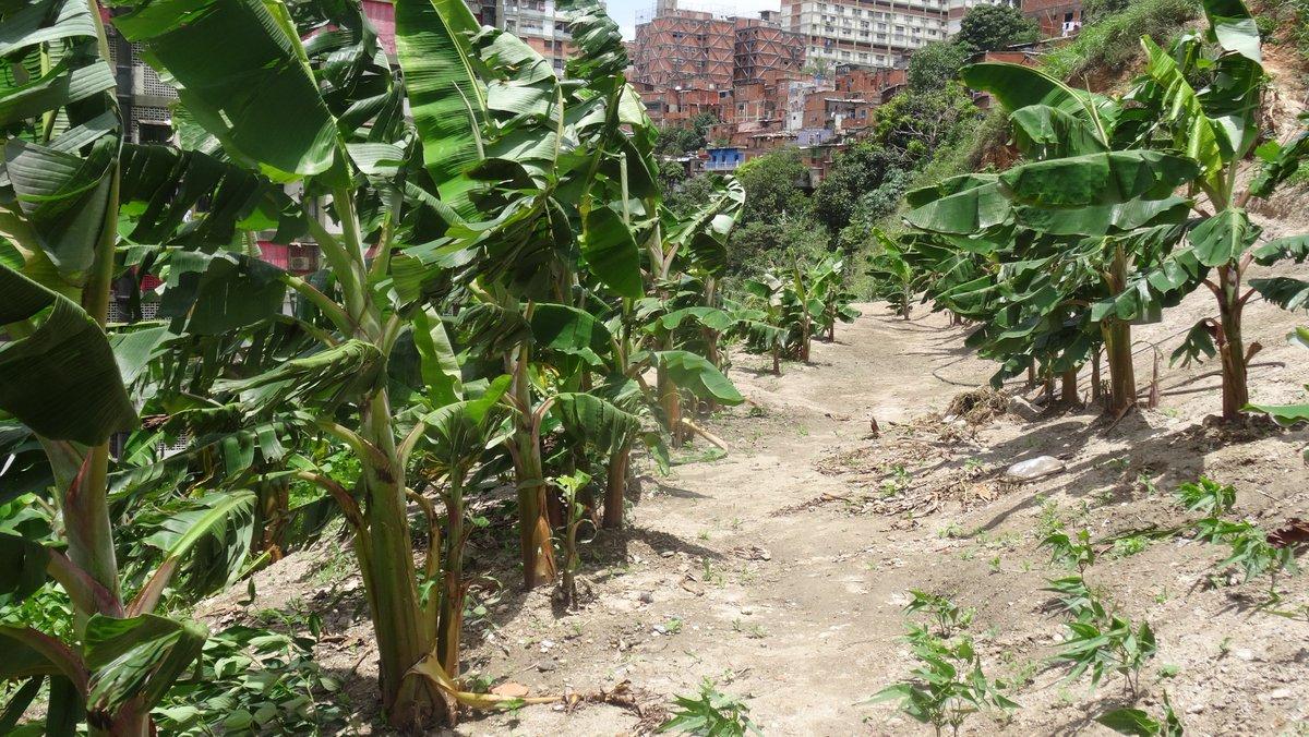 Venezuelan communes, El Maizal, communal responsibilities, Hugo Chavez, citizen assemblies
